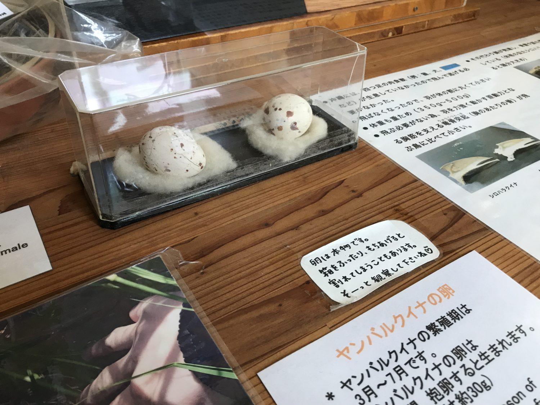 こちらは残念ながら孵化しなかったヤンバルクイナの卵、実物だそうです(中身は抜いてある)。